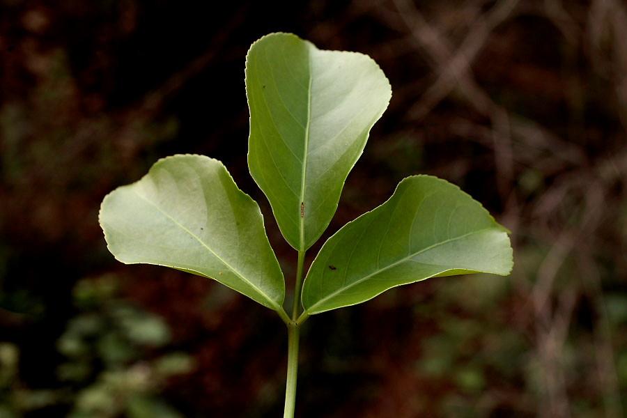 Lá cây rất tốt trong việc chữa bệnh
