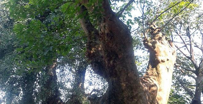 Loài cây này thường được khai thác lấy gỗ