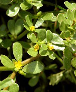 Loại rau này có nhiều tác dụng tốt với sức khỏe