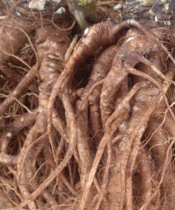 Trong rễ bố chính sâm có nhiều thành phần bổ dưỡng